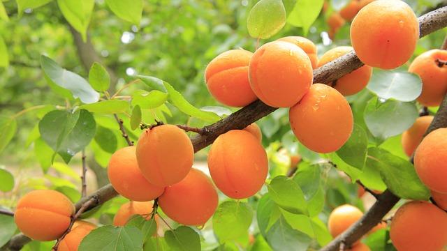 zralé meruňky