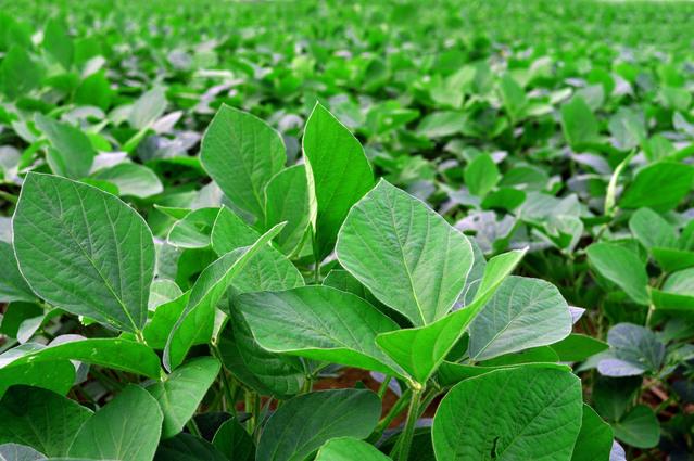 fazolová plantáž
